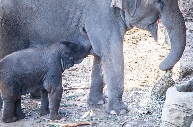 Maximus Elephas asiatischer Elefant des Babys erhalten von seiner Mutter einziehend lizenzfreies stockbild
