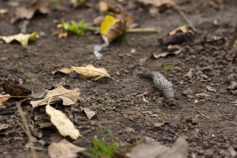Maximus Limax - бездельник леопарда вползая на том основании среди листьев стоковое изображение rf