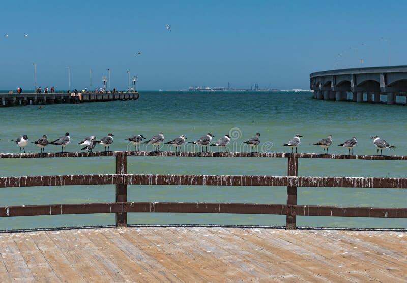 Maximus real de Thalasseus de la golondrina de mar en la 'promenade' de la playa del progreso, Yucatán, México fotos de archivo