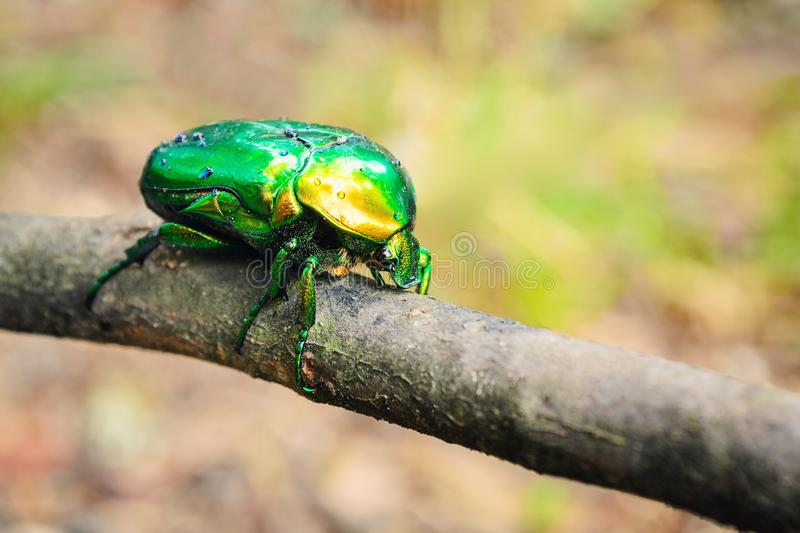 May beetle in droplets of water after rain sits on a plant branch lit by the sun stock photo