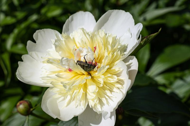 White peony with a May beetle on a green background. May beetle sitting on a white peony flower. Under the sun at noon, collects nectar stock image