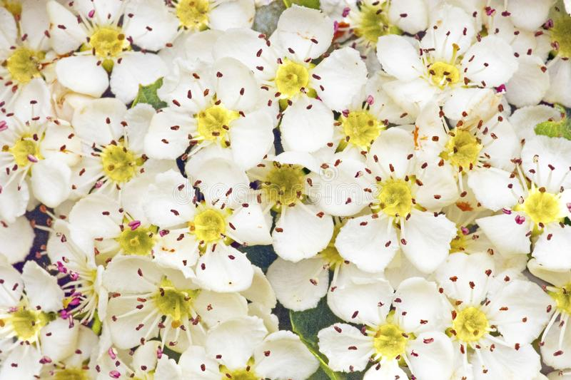 May Blossom - The Flowers of Craetagus Monogyna royalty free stock photos