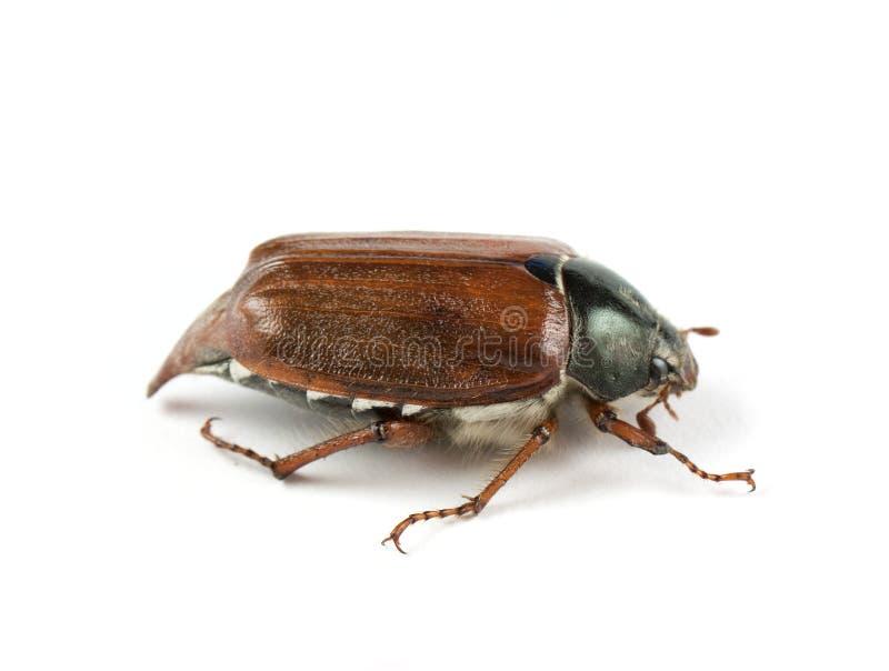 May-bug royalty free stock images