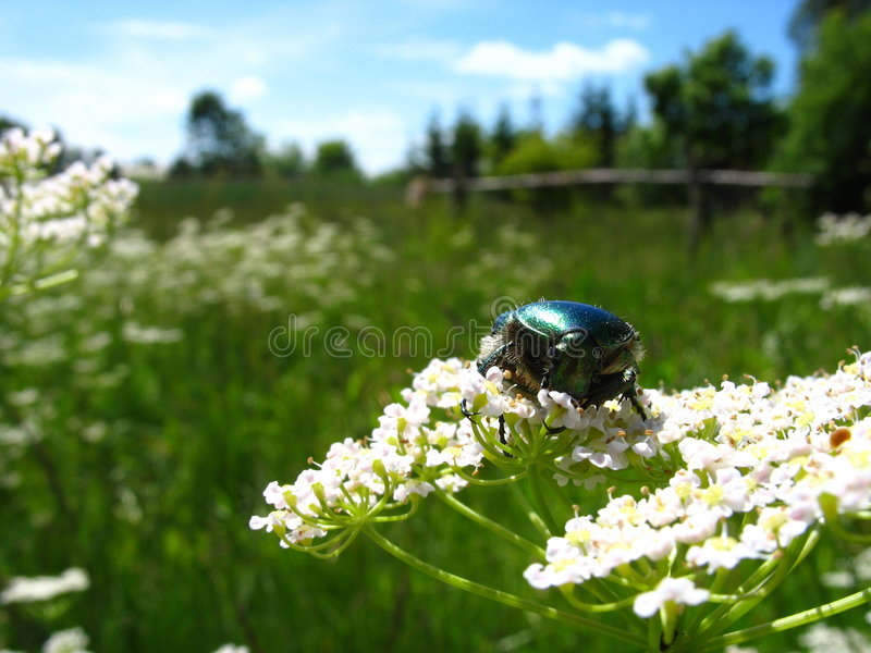 May-bug auf Blume lizenzfreies stockbild