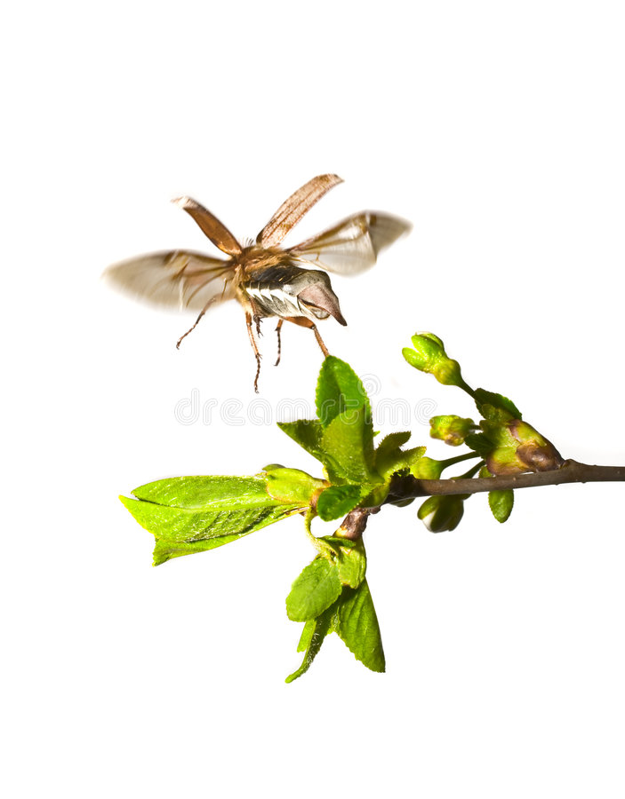 Download May-bug Auf Dem Zweig Des Baums Stockbild - Bild von angriff, flug: 9093163