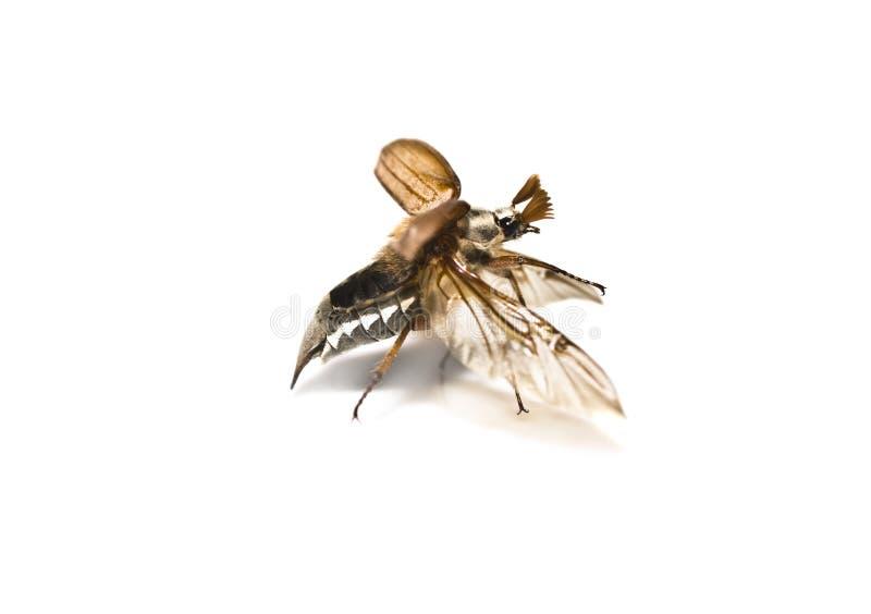 Download May-bug Auf Einem Weißen Hintergrund. Stockfoto - Bild von flug, insekt: 9093158