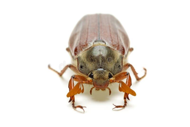 May-bug (Baumkäfer, Melontha gemein) lizenzfreies stockfoto