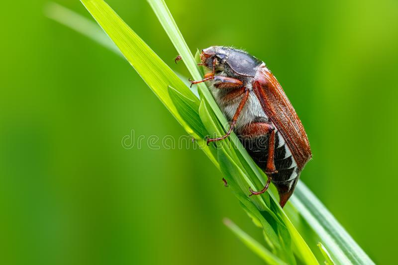 The may-bug the macro portrait. stock photo