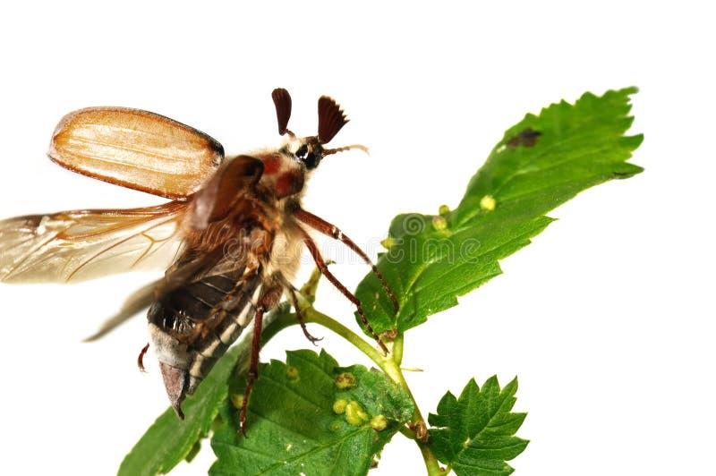 May-bug (Melolontha gemein) stockbilder