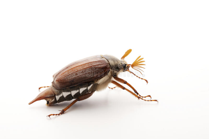 Download May bug on white stock photo. Image of background, beetle - 24788640