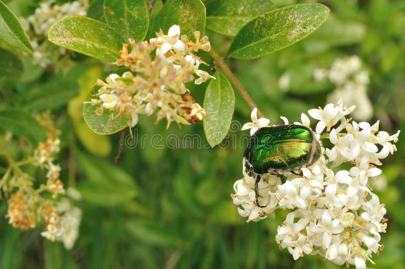 May-bug on a white flowers stock photo