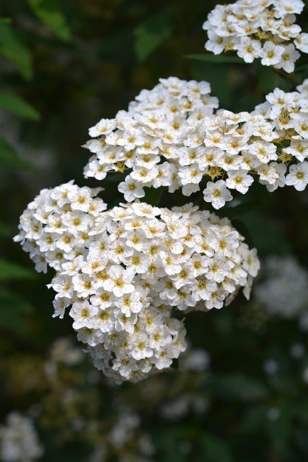 May Bush. White flowers - Latin name - Spiraea cantoniensis stock photos