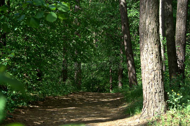 May forest landscape. May sunny day, a path in a pine forest and foliar trees near it royalty free stock photo