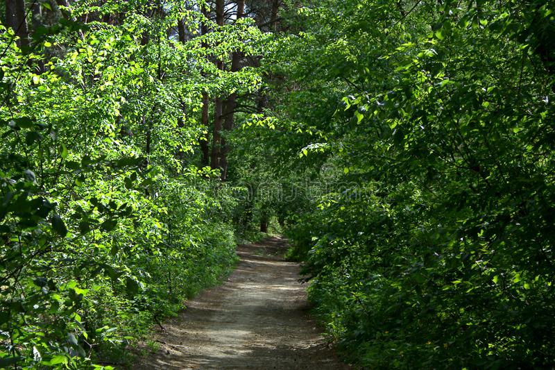 May forest landscape. May sunny day, a path in a pine forest and foliar trees near it royalty free stock image
