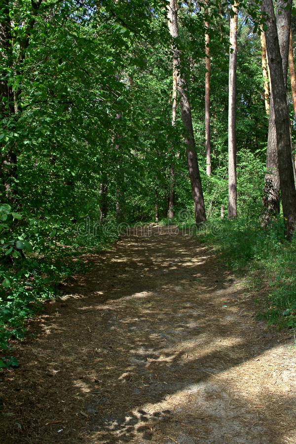 May forest landscape. May sunny day, a path in a pine forest and foliar trees near it, vertical shot stock photography