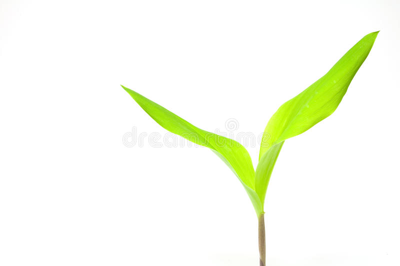 May Lily Stock Images