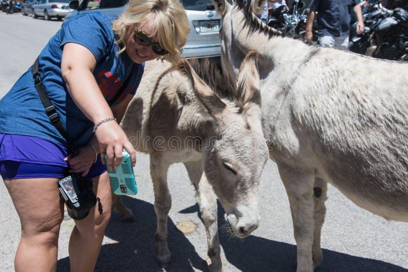 OATMAN, ARIZONA: Woman tourist tries to take a selfie with wild burro on the streets of Oatman Arizona, along Route 66 royalty free stock photo