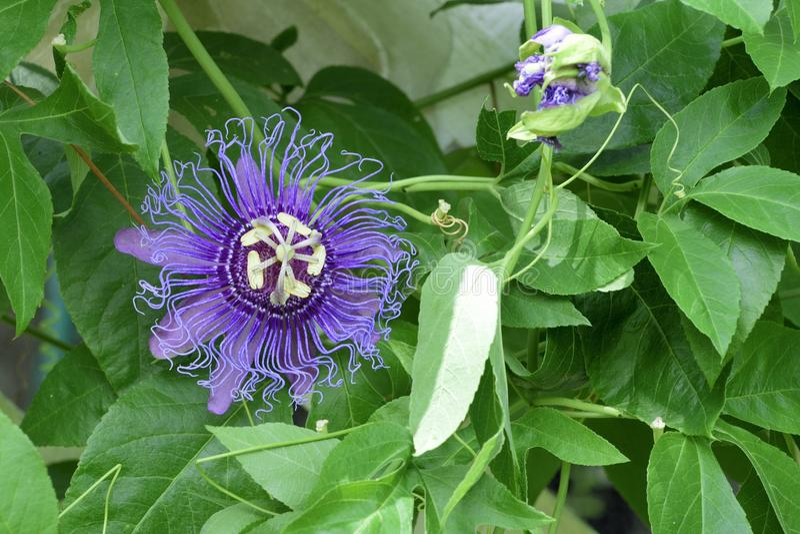 May-pop Purple Passion flower(Passiflora Incarnata) stock photo