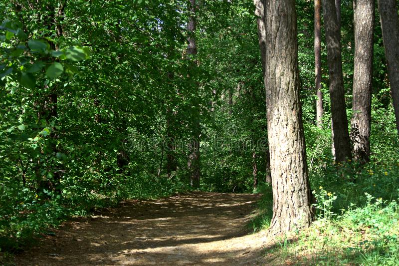 May forest landscape. May sunny day, a path in a pine forest and foliar trees near it stock photos