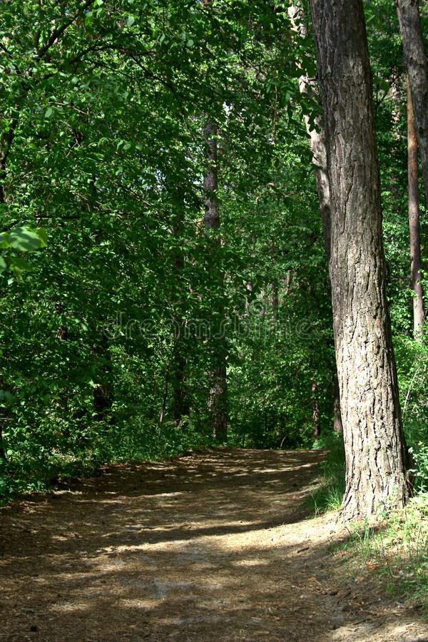 May forest landscape. May sunny day, a path in a pine forest and foliar trees near it, vertical shot stock photo