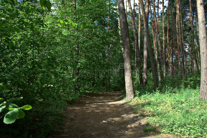 May forest landscape. May sunny day, a path in a pine forest and small deciduous trees near it stock image