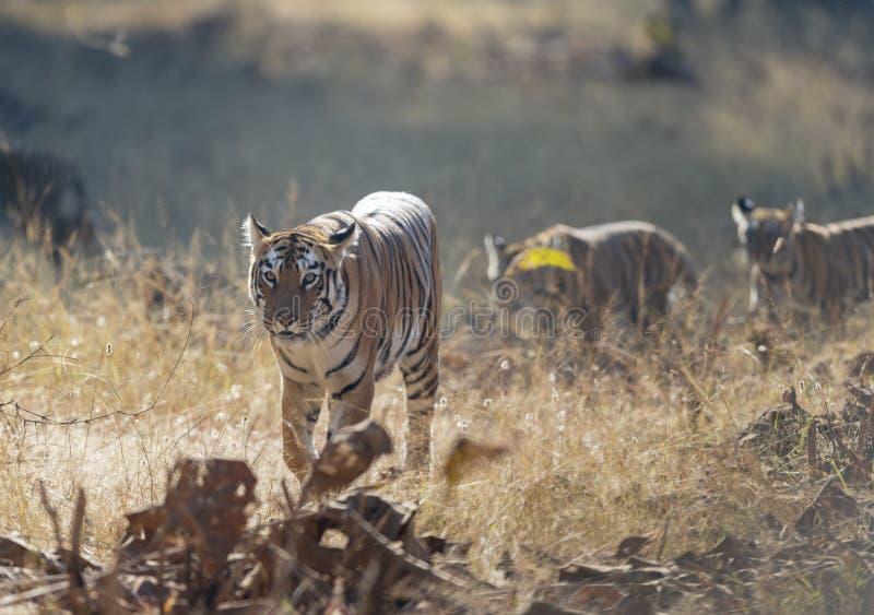 Maya de la tigresa que camina con su Cubs en Tadoba Andhari Tiger Reserve, maharashtra, la India imagen de archivo