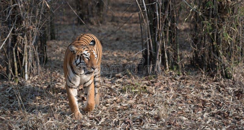 Maya-weiblicher Tiger nahe einem Gewässer an Nationalpark Tadoba stockfoto