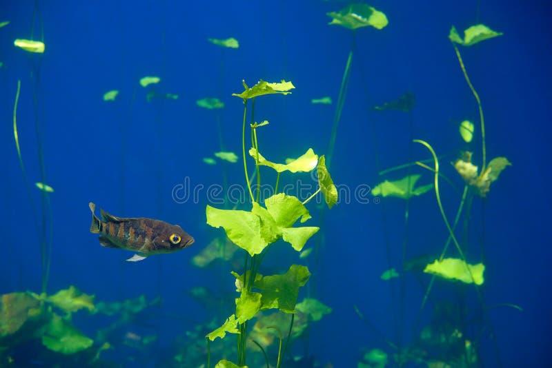 Mayacichlidfische in Cenote-Dreckloch Mexiko lizenzfreie stockfotografie