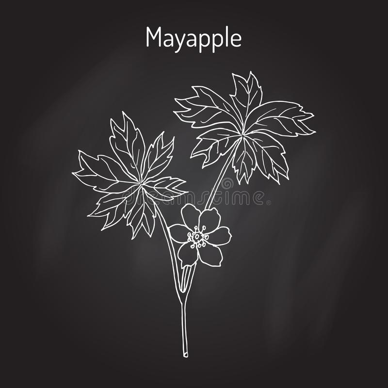 Mayapple Ilex purpurea , or wild mandrake, ground lemon, medicinal plant. Hand drawn botanical vector illustration vector illustration