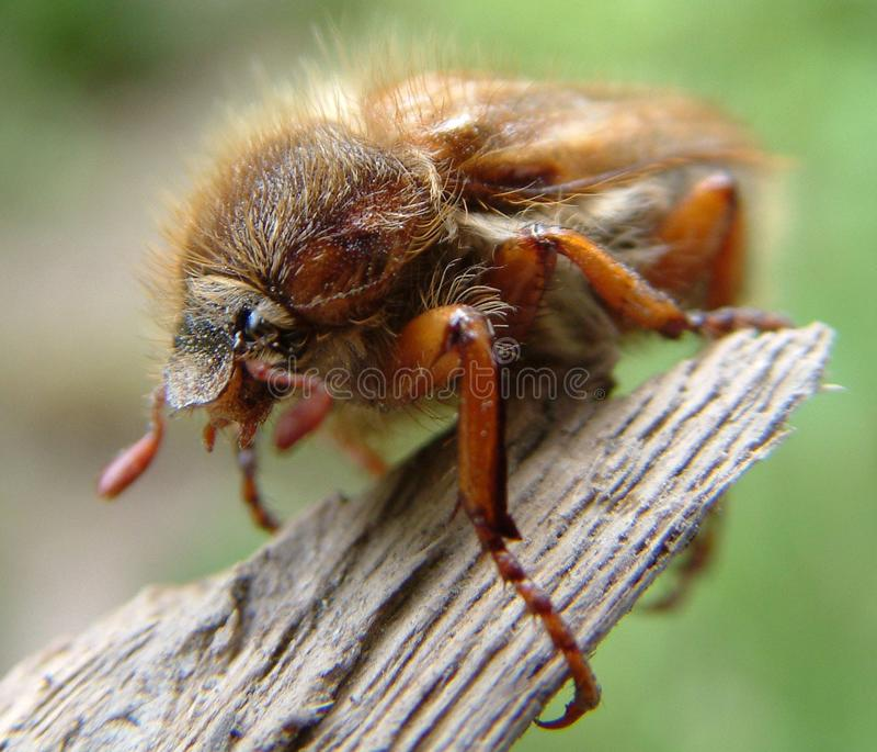 Maybug Free Stock Photo
