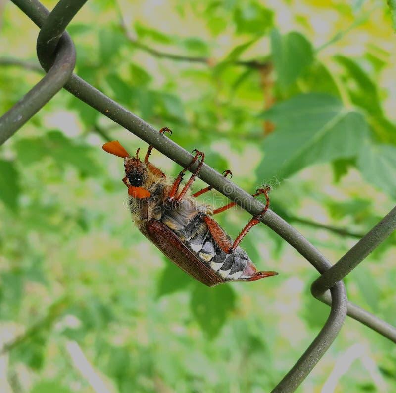 Maybug, ou besouro da forra, descansando em uma cerca do metal fotografia de stock royalty free