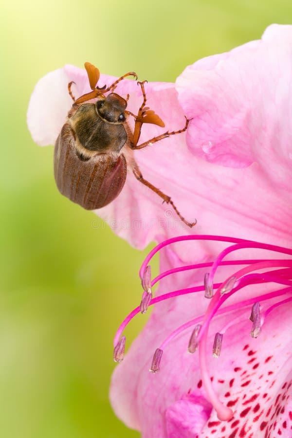 Maybug sur la fleur rose image libre de droits