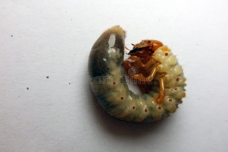 Maybug y x28; Cockchafer& x29; oruga en un fondo blanco foto foto de archivo libre de regalías