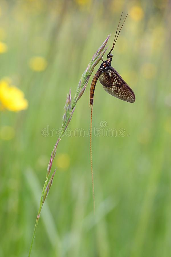 mayfly стоковое изображение rf