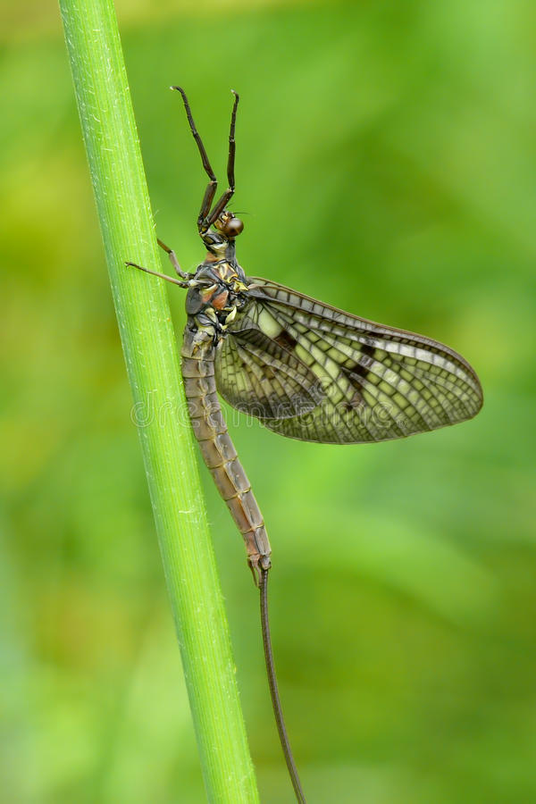 Download Mayfly stock photo. Image of wild, wildlife, long, fauna - 26118388