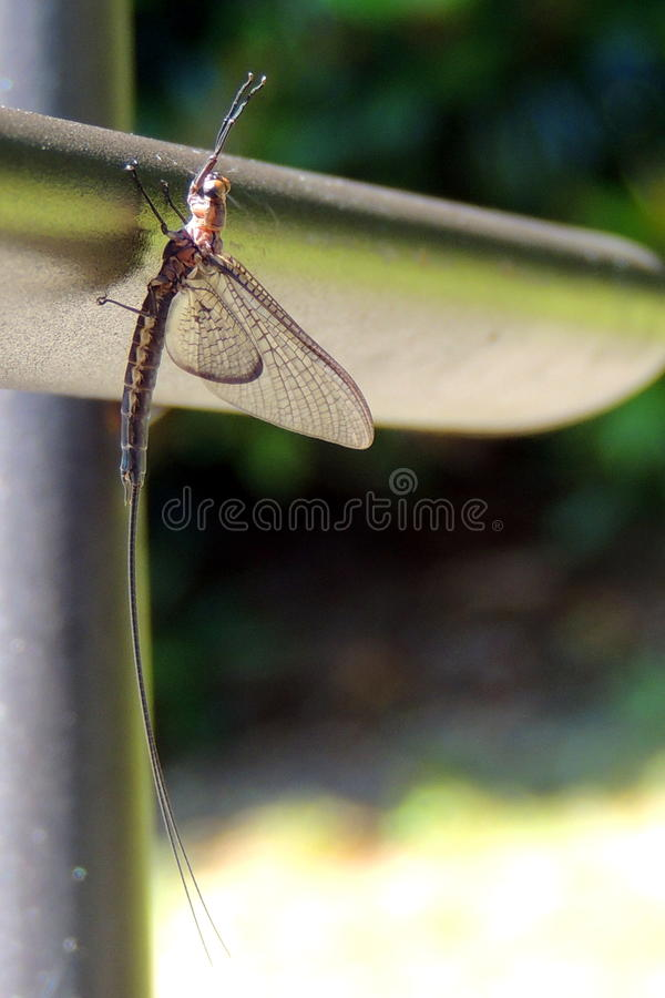 mayfly stockfotografie