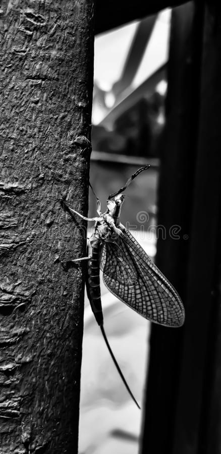 Mayfly in black and white stock images