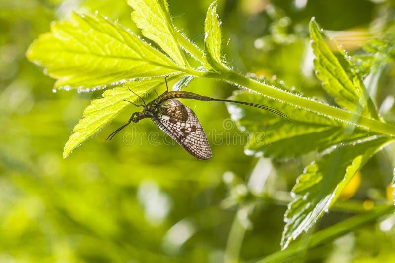 Mayfly (efemerydy vulgata) obraz stock