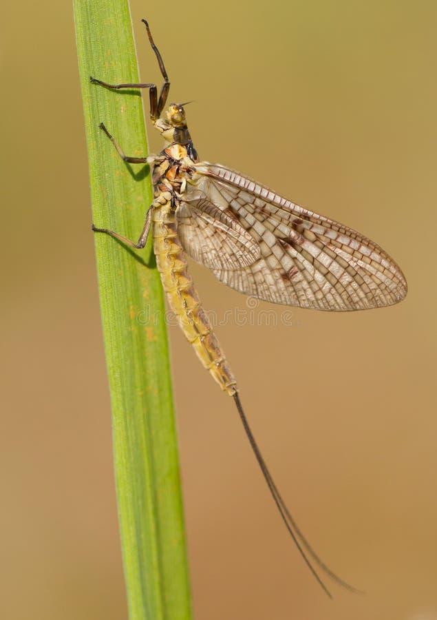 Mayfly efemerydy vulgata makro- fotografia w czeskim zdjęcie royalty free