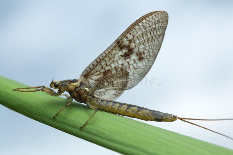 Mayfly, efemerydy vulgata na słomie zdjęcia royalty free