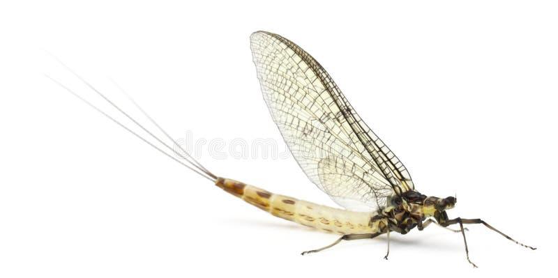 Mayfly, Ephemera danica. In front of white background stock photos