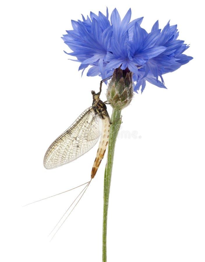 Mayfly, Ephemera danica, on flower. In front of white background stock photography