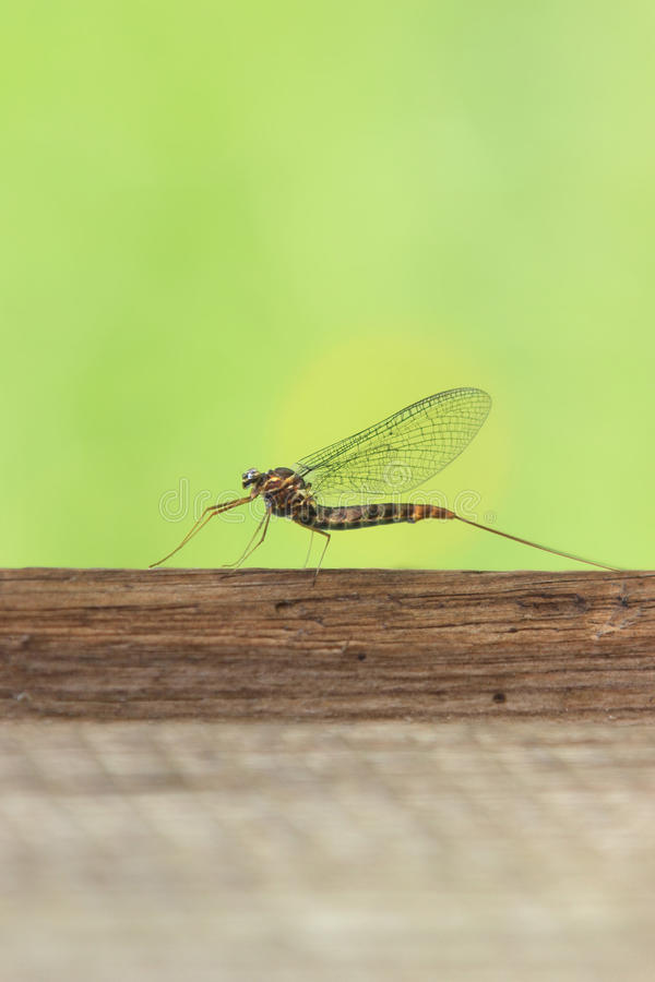 Download Mayfly stock photo. Image of metamorphosis, close, flies - 41682026