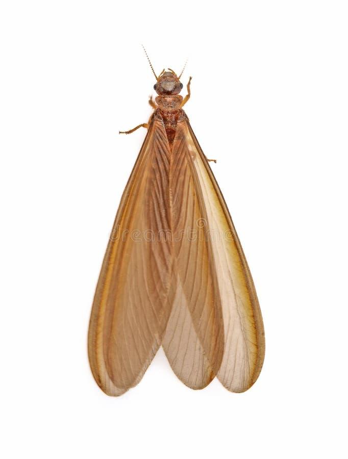 Mayfly odizolowywający na białym tle fotografia stock