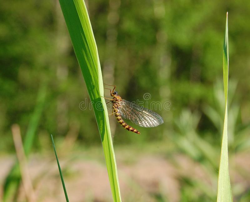 A mayfly resting in the sun stock photos