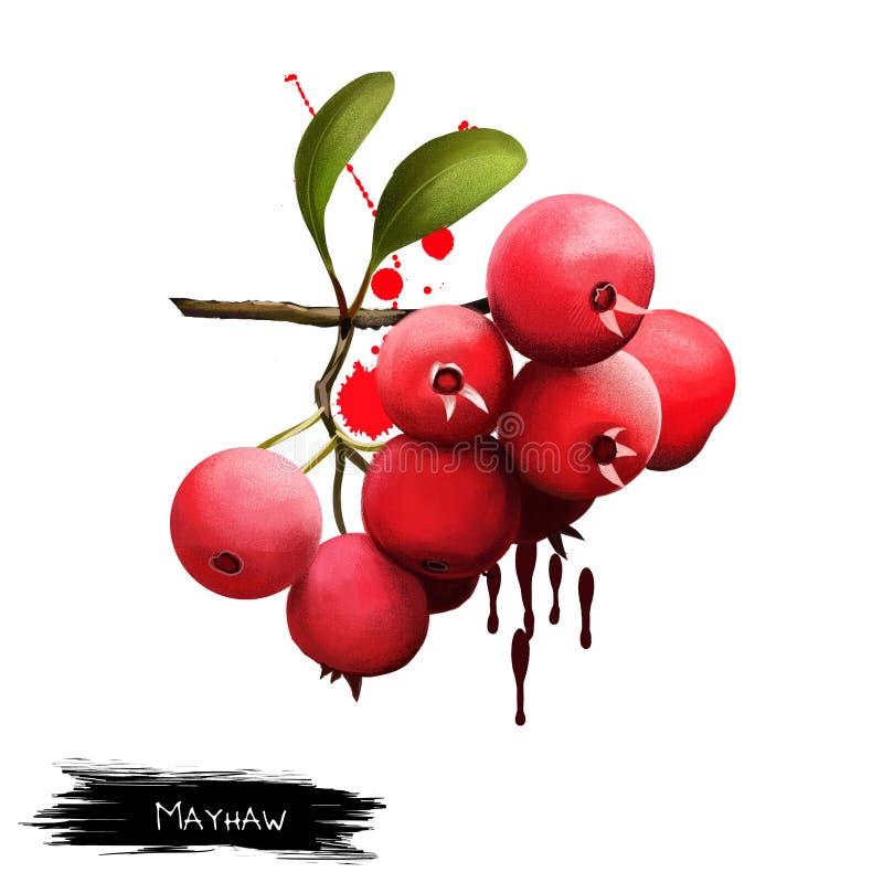 Mayhaw isolou-se no branco Aestivalis do crataegus, conhecidos como o mayhaw oriental, o arbusto ou a árvore pequena Use em fazer ilustração do vetor