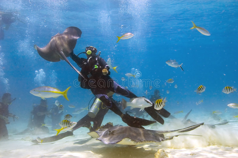 Mayhem in Stingray City, Grand. Divers are seen interacting with the hungry stingrays that have been conditioned by feeding to appear at this over popular dive royalty free stock photos