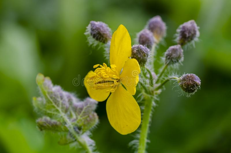Mayor celandine que florece en campo foto de archivo