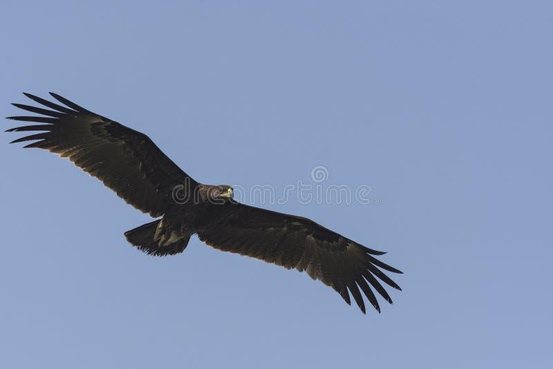 Mayor clanga manchado de Eagle Clanga en vuelo imagenes de archivo