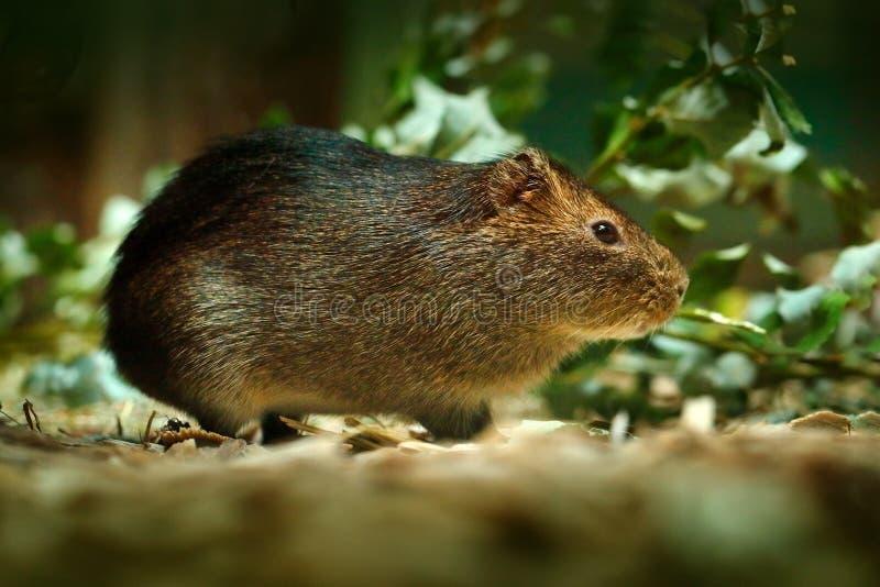 Mayor conejillo de Indias, magna de Cavia, ratón raro salvaje en el hábitat de la naturaleza Ratón en mayor conejillo de Indias d foto de archivo libre de regalías